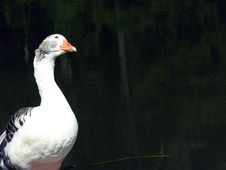 Free Goose Watching Royalty Free Stock Photo - 666145