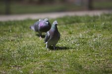 Free Pigeons Stock Images - 666524