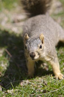 Free Squirrel Royalty Free Stock Image - 666556