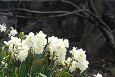 Free White Daffodils Royalty Free Stock Images - 667709