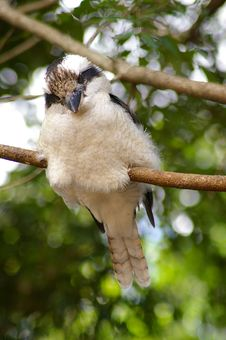 Free Kookaburra Stock Images - 667994