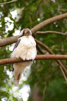 Free Kookaburra - Under View Royalty Free Stock Photos - 668008