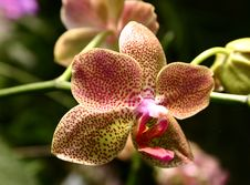 Free Spotted Phalaenopsis Orchid Stock Photos - 668023