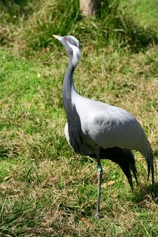 Free Red Eyed Crown Crane Royalty Free Stock Image - 668266