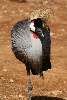 Free Brown Crown Crane Stock Image - 668271