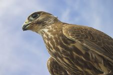 Free The Glance Of The Falcon Royalty Free Stock Images - 668349