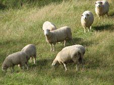 Free Sheep Grazing Stock Photo - 669000