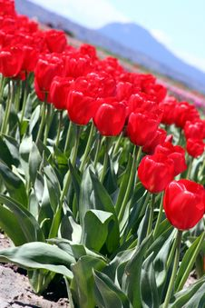 Free Red Tulips Diagonal Royalty Free Stock Photo - 669495