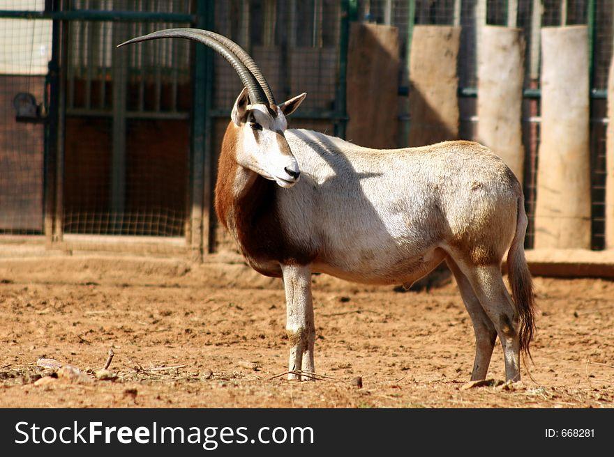 Antelope in zoo