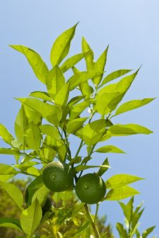 Free Limes Royalty Free Stock Photo - 6600005