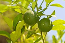 Free Two Limes Royalty Free Stock Image - 6600006