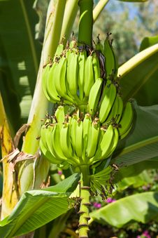 Free Cluster Of Bananas Stock Images - 6600024