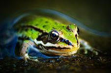 Free Frog Royalty Free Stock Photo - 6600575