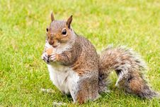 Free Squirrel Royalty Free Stock Images - 6601719