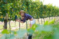 Free Young Woman Harvesting Grapes Royalty Free Stock Photos - 6602218