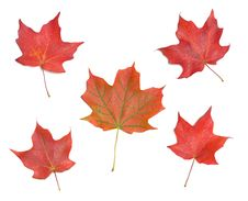 Free Autumn Maple Leaves Royalty Free Stock Photos - 6603318