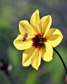 Free Flying Bee Captured In Flight W/ Yellow Flower Stock Photo - 6604140