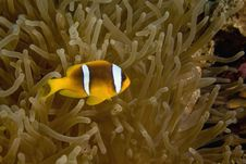 Free Red Sea Anemonefish (Amphipiron Bicinctus) Stock Photo - 6604610