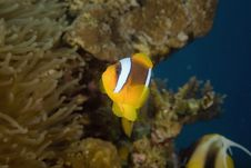 Free Red Sea Anemonefish (Amphipiron Bicinctus) Stock Photos - 6604663