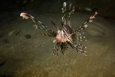 Common Lionfish (pterois Miles) Royalty Free Stock Images