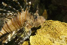 Free Common Lionfish (pterois Miles) Stock Photos - 6604783