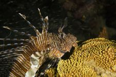 Free Common Lionfish (pterois Miles) Stock Images - 6604784
