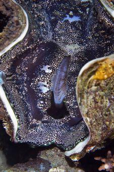 Free Common Giant Clam (tridacna Maxima) Royalty Free Stock Photography - 6605147