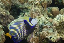 Emperor Angelfish (pomacanthus Imperator) Stock Images