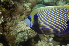 Emperor Angelfish (pomacanthus Imperator) Royalty Free Stock Photos