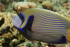 Free Emperor Angelfish (pomacanthus Imperator) Royalty Free Stock Images - 6605439