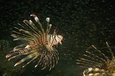 Free Common Lionfish (pterois Miles) Royalty Free Stock Photos - 6606738