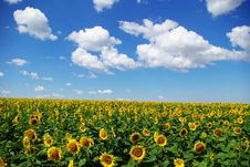 Free Sunflower Field Royalty Free Stock Photos - 6607488
