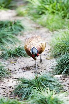 Free Common Pheasant Stock Images - 6607764