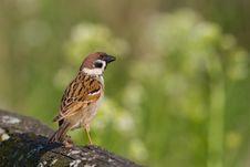 Free Bird - Tree Sparrow Royalty Free Stock Photo - 6608135