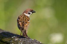 Free Bird - Tree Sparrow Stock Photography - 6608142