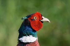 Free Pheasant Royalty Free Stock Photo - 6608155