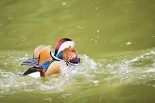 Free Mandarin Duck Royalty Free Stock Image - 6608456