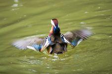 Free Mandarin Duck Stock Photos - 6608903
