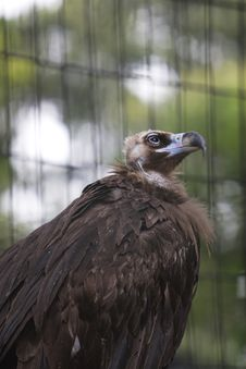Free Vulture Stock Image - 6608931