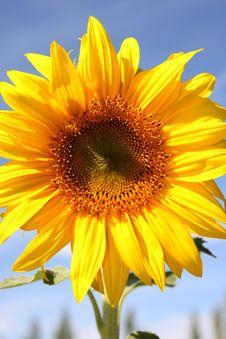 Free Sunflower Flower Royalty Free Stock Image - 6609146