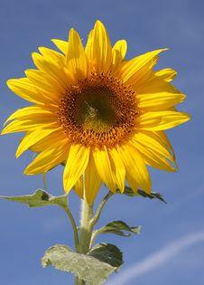 Free Sunflower Royalty Free Stock Photos - 6609328