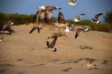 Free Seagulls Stock Photos - 6609693