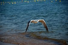 Free Seagull Royalty Free Stock Photo - 6609965