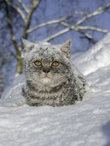 Free Cat In The Snow Is On The Snowdrift Royalty Free Stock Image - 66096756