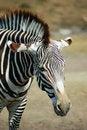 Free Tired Zebra Royalty Free Stock Photography - 6610757