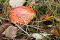Free Amanita Muscaria Royalty Free Stock Photo - 6613465