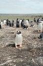 Free Gentoo Penguin Colony Royalty Free Stock Photos - 6615218