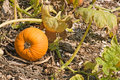 Free Pumpkin On The Vine Royalty Free Stock Photo - 6615995