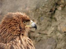 Free Hawk Royalty Free Stock Photo - 6610415