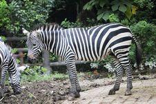 Free Zebra Stock Photos - 6610903